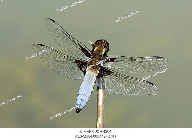 Broad-bodied chaser, Libellula depressa, on twig