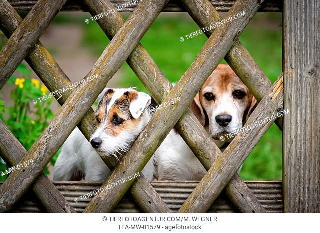 Parson Russell Terrier and Beagle