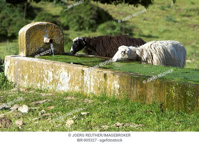 Black and white sheep drinking at a water trough in the Gennargentu National Park, Sardinia, Italy, Europe