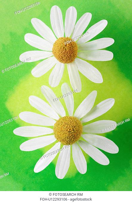 Two Chamomile Flower On Green