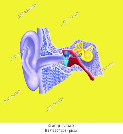 INTERNAL EAR, DRAWING