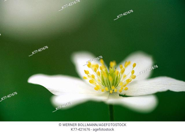 Wood Anemone (Anemone nemorosa). Germany
