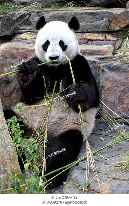 Giant Panda,Ailuropoda melanoleuca,Adelaide Zoo,South Austalia,Australia,adult feeding on bamboo