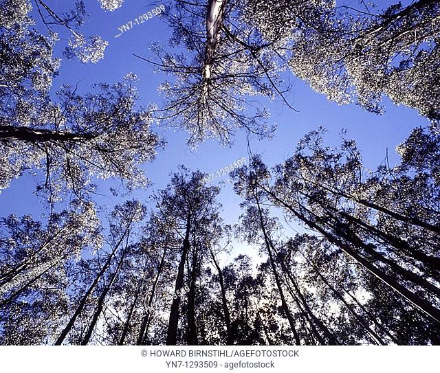 Worms eye view of towering mountain ash trees Eucalyptus regnans in Victoria, Australia