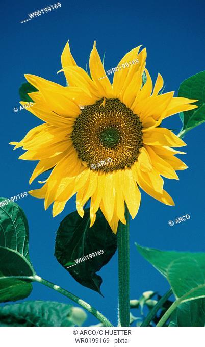 Sunflower,Helianthus, annuus