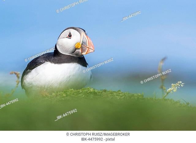 Puffin (Fratercula arctica), Lunga, Isle of Mull, Inner Hebrides, Scotland, United Kingdom