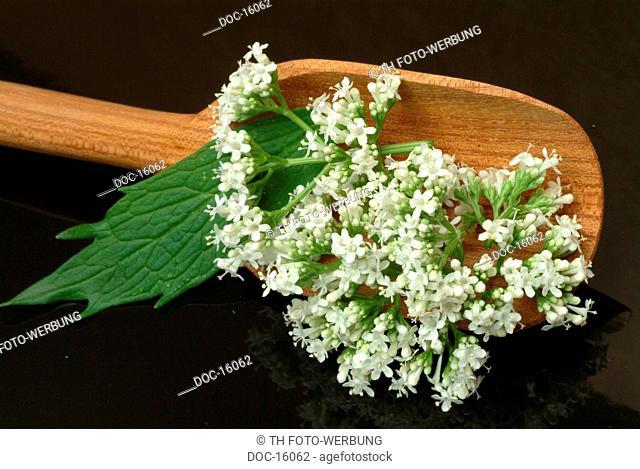 Elder - medicinal plant - Sambucus nigra - Sambuco negro - nero -