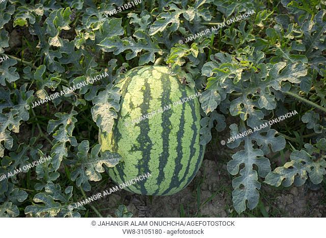 Watermelons Plant Farm and Farming at sylhet, Bangladesh