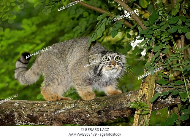 Manul Or Pallas's Cat (Otocolobus Manul) Adult On Branch  France