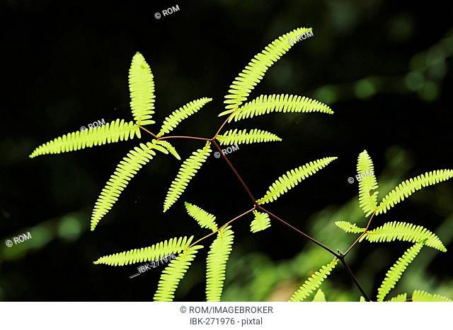 Fern in rainforest, Kalimantan, Borneo, Indonesia