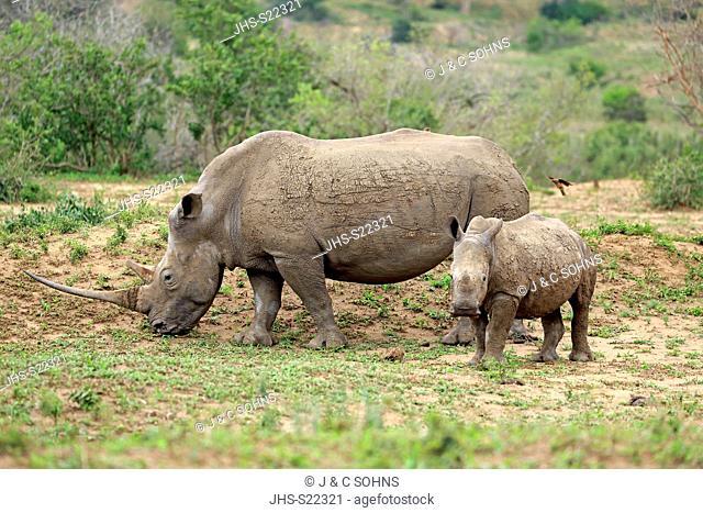 White Rhinoceros, Square-Lipped Rhinoceros, (Ceratotherium simum), adults female with young feeding, searching for food, Hluhluwe Umfolozi Nationalpark