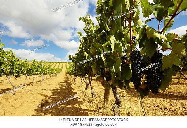 Rows of vines in a vineyard  Lanciego  Rioja alavesa wine route  Alava  Basque country  Spain