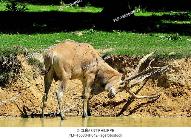 Pere David's deer / Milu (Elaphurus davidianus) standing in river and rubbing the velvet from its antlers, native to China