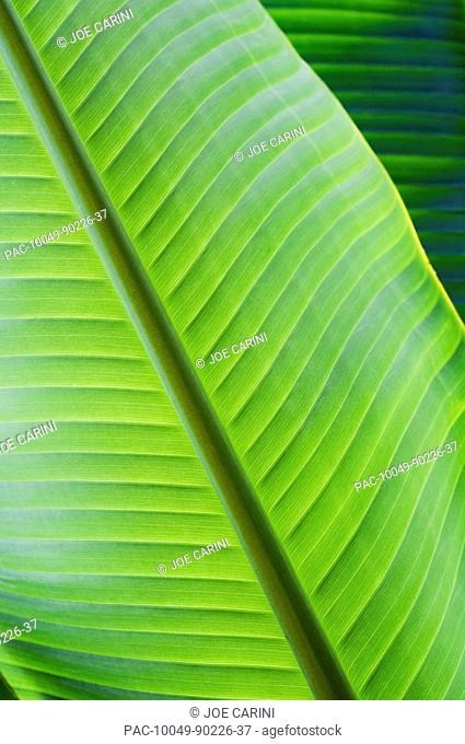 Hawaii, Oahu, Detail of vibrant tropical leaves