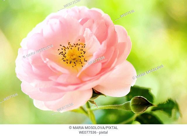 Pink Rose. Rosa hybrid. August 2007, Maryland, USA