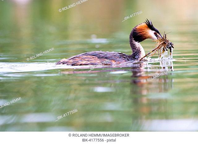 Great Crested Grebe (Podiceps cristatus) with nesting material in the water, Canton of Vaud, Switzerland