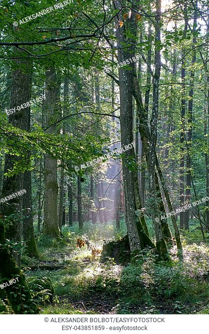 isty sunrise morning in deciduous forest with old alder trees,Bialowieza Forest, Poland, Europe