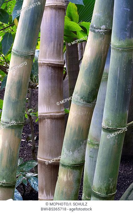 giant bamboo (Dendrocalamus giganteus, Bambusa gigantea), sprouts