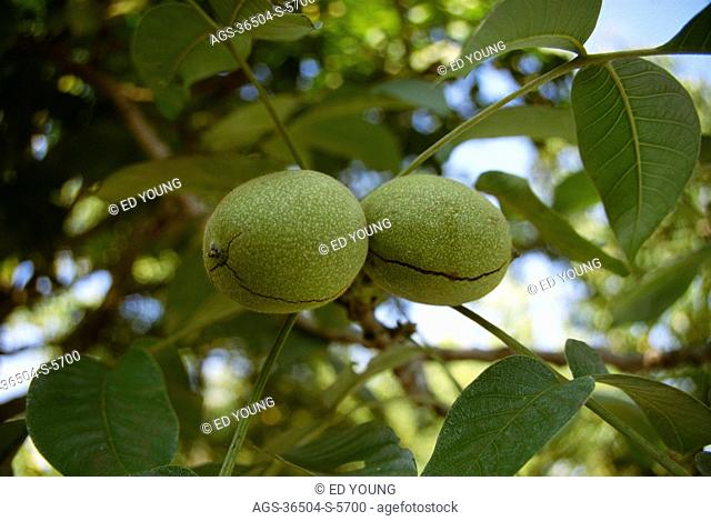 Agriculture - California, Linden, Walnuts on tree