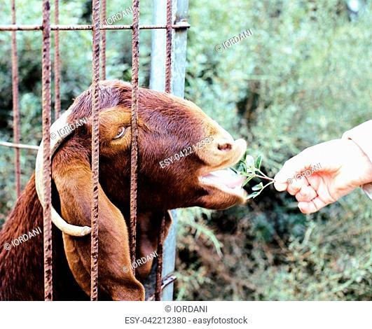 woman hand feeding animal throw barn with grass