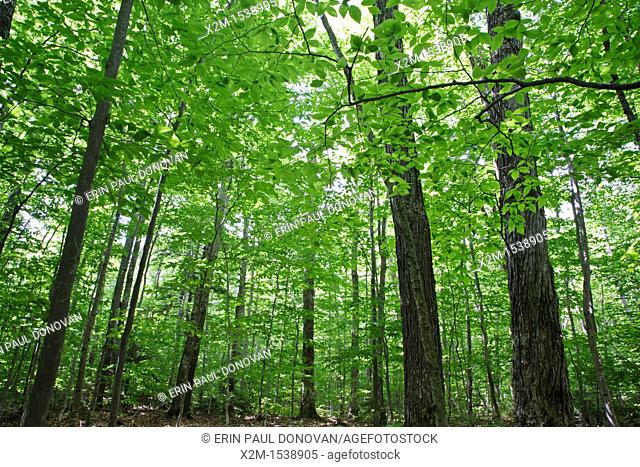 Canopy of hardwood forest during the summer months in the area of the Deer Brook drainage of Albany, New Hampshire USA  Maple and beech are the dominate trees