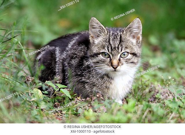 Cat, young grey striped kitten in garden