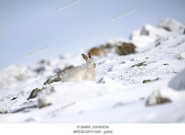 UK, Scotland, Mountain hare in snow