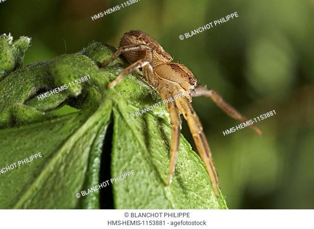 France, Araneae, Thomisidae, Crab spider (Xysticus erraticus)
