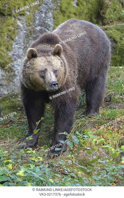 Brown bear, Ursus arctos, Germany