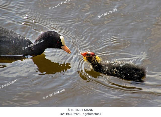 black coot (Fulica atra), feeding a chick on the water, Germany