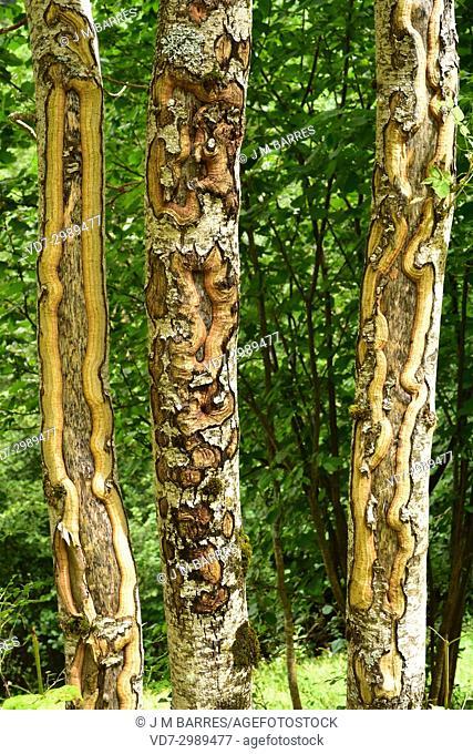 Silver birch (Betula pendula) trunk detail. Val d'Aran, Lleida, Catalonia, Spain