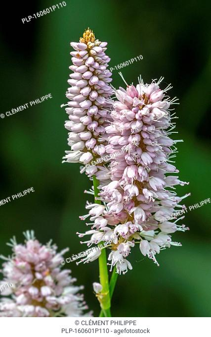 Common bistort / meadow bistort (Persicaria bistorta / Polygonum bistorta) in flower