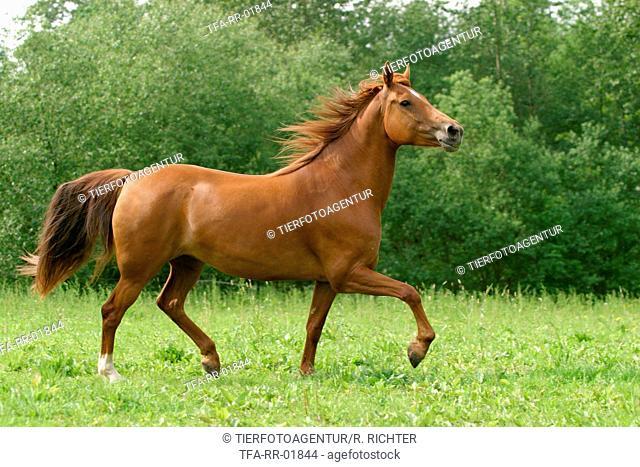 running Morgan Horse