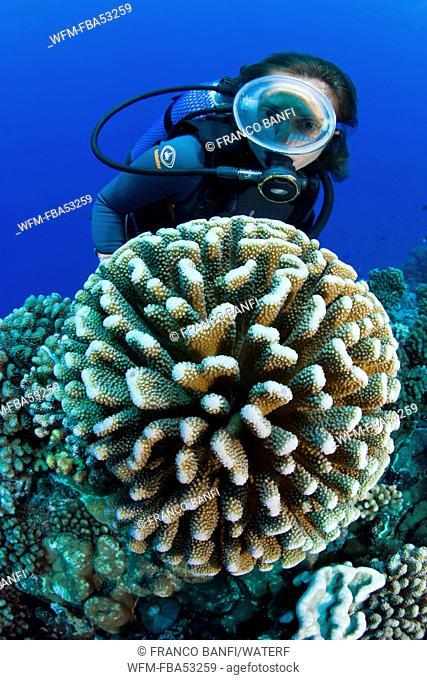 Scuba Diver and Antler Coral, Pocillopora eydouxi, Manihi, French Polynesia