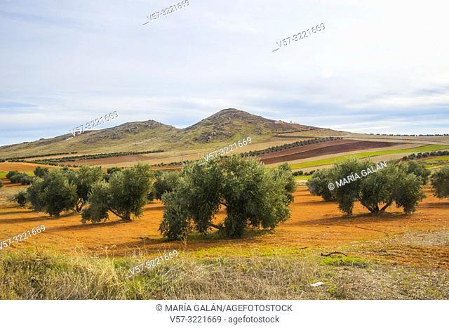 Olive grove. Campo de Montiel, Ciudad Real province, Castilla La Mancha, Spain