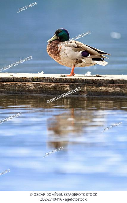 Mallard (Anas platyrhynchos) male on pier. Staffelsee. Upper Bavaria. Germany
