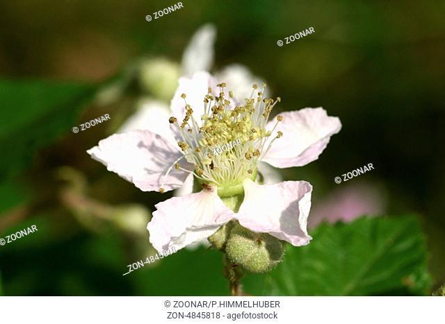 Blackberry-Blossom