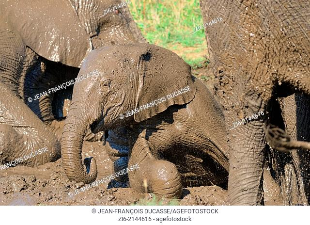 African elephants Loxodonta africana, baby taking a mud bath, Kruger National Park, South Africa, Africa
