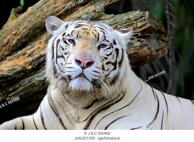 Indian Tiger White Form, White tiger, Bengal tiger, (Panthera tigris tigris), adult resting portrait, India, Asia