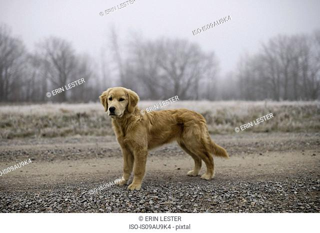 Golden retriever standing in field on frosty morning looking away