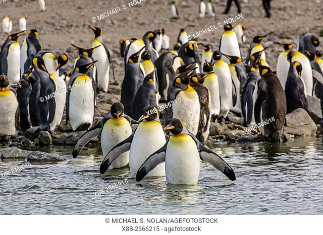 King penguin, Aptenodytes patagonicus, breeding colony at St. Andrews Bay, South Georgia, UK Overseas Protectorate