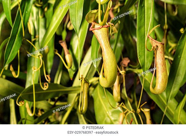pitcher plant flowers and leaves