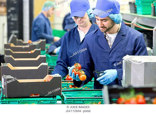 Quality control worker inspecting and packing tomatoes in food processing plant