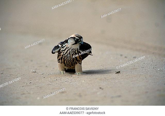 Lanner Falcon chasing Grasshoppers, Kalahari Gemsbok Park, RSA (Falco biarmicus)