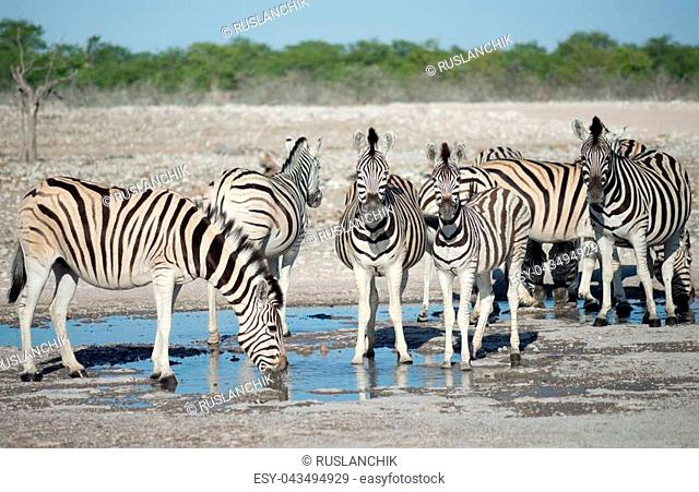 zebras at a watering hole in Africa