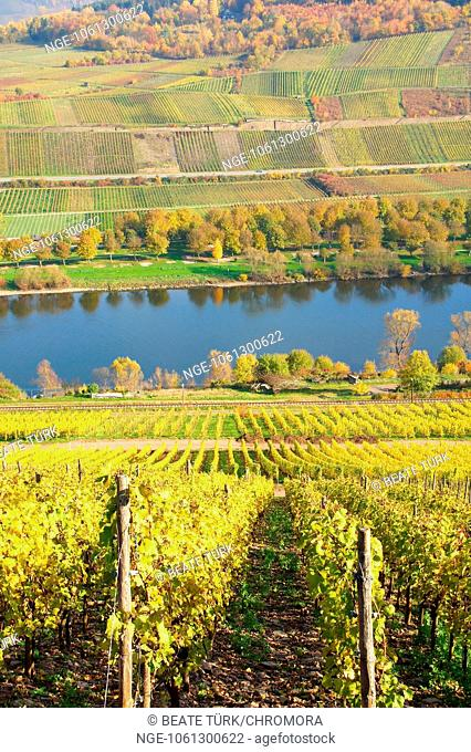 autumn in the vineyards near Reil on the Moselle