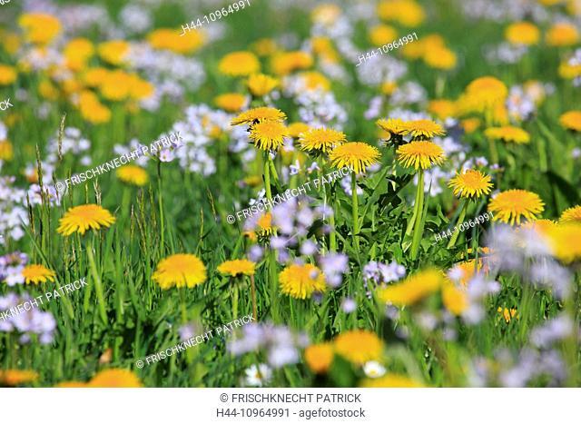 Flower, flowers, flower blossom, flower field, flower meadow, blossom, flourish, Cardamine pratensis, smell, field, spring, dandelion, pattern, nature, blowball
