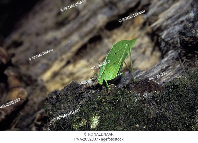 Leaf-insect in the jungle of Costa Rica