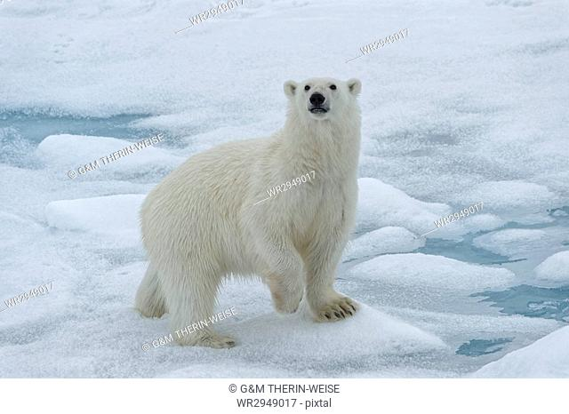 Female Polar bear (Ursus maritimus) walking on pack ice, Svalbard Archipelago, Barents Sea, Arctic, Norway, Scandinavia, Europe