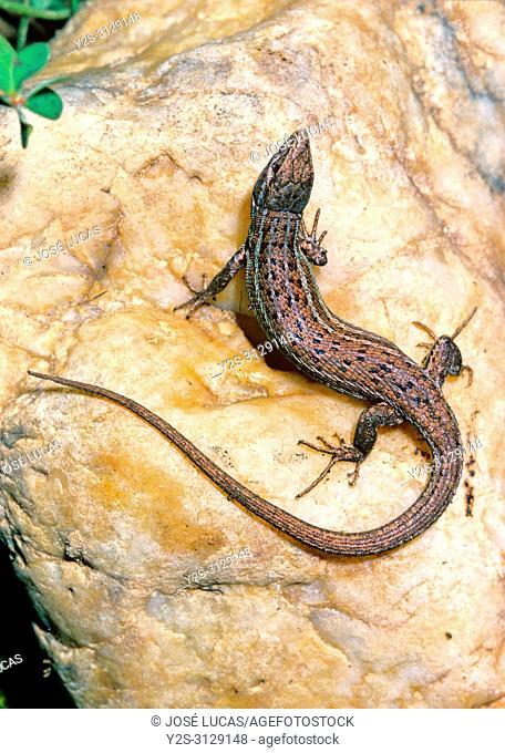 Spanish psammodromus (Psammodromus hispanicus). Southern Spain. Europe